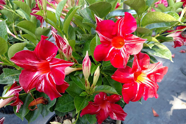 Mandevilla Stars and Stripes
